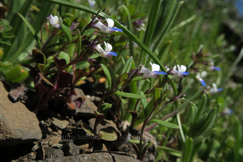 small-flowered blue-eyed-Mary (Collinsia parviflora) [Doug's Beach State Park, Klickitat County, Washington]
