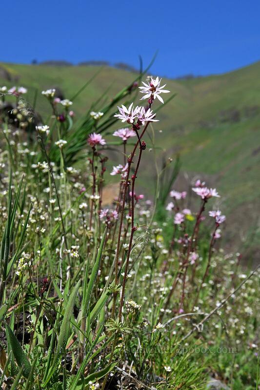 prairie stars & spring whitlow-grass (Lithophragma sp., Draba verna) [Doug's Beach State Park, Klickitat County, Washington]