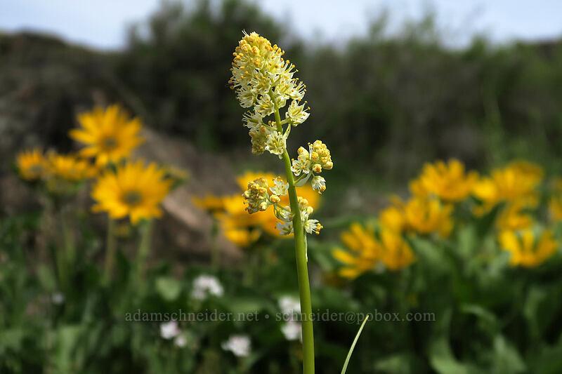 death-camas & balsamroot (Toxicoscordion paniculatum (Zigadenus paniculatus), Balsamorhiza careyana) [Access Road, Columbia Hills State Park, Washington]