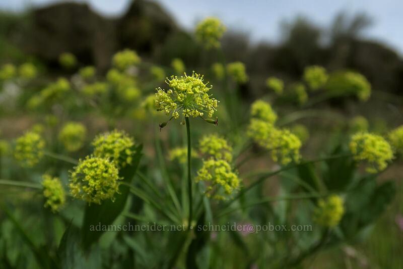 bare-stem desert parsley (Lomatium nudicaule) [Access Road, Columbia Hills State Park, Washington]