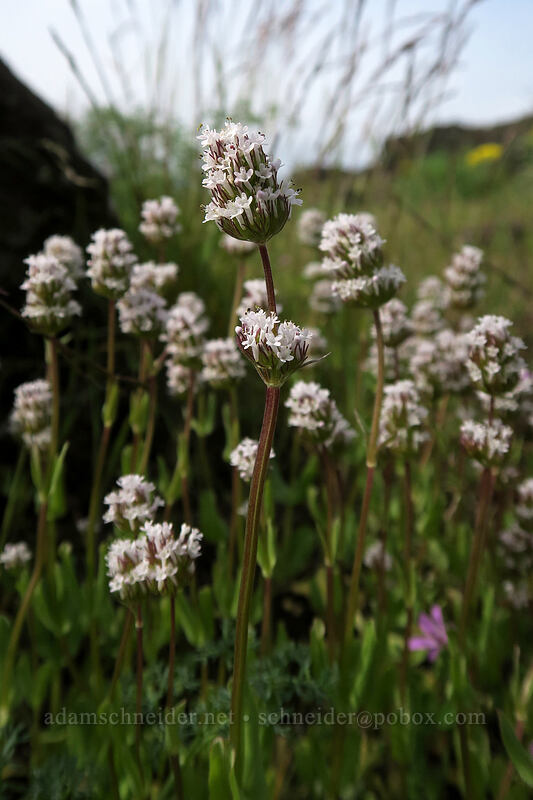 white plectritis (Plectritis macrocera) [Access Road, Columbia Hills State Park, Washington]