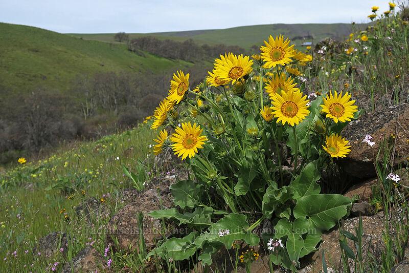 balsamroot (Balsamorhiza careyana) [Access Road, Columbia Hills State Park, Washington]