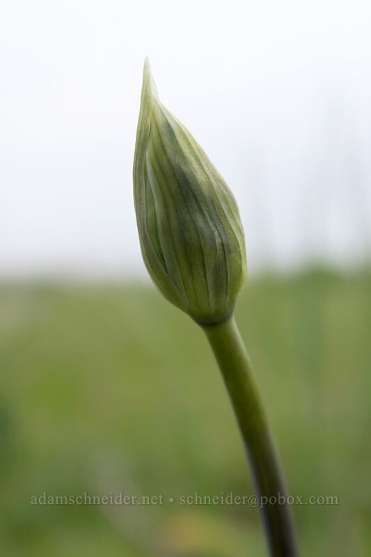 cluster-lily, budding (Triteleia grandiflora) [Military Road, Columbia Hills State Park, Washington]