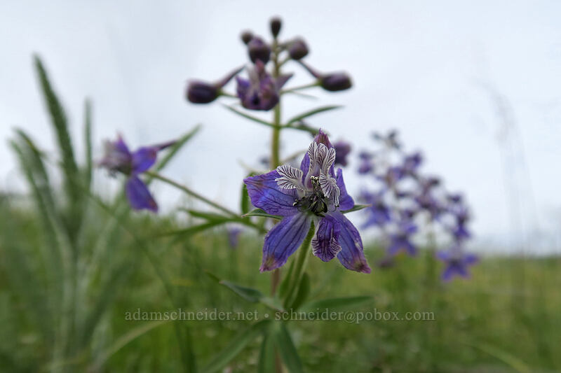 larkspur (Delphinium menziesii) [Vista Loop, Columbia Hills State Park, Washington]