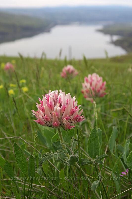 big-head clover (Trifolium macrocephalum) [Vista Loop, Columbia Hills State Park, Washington]