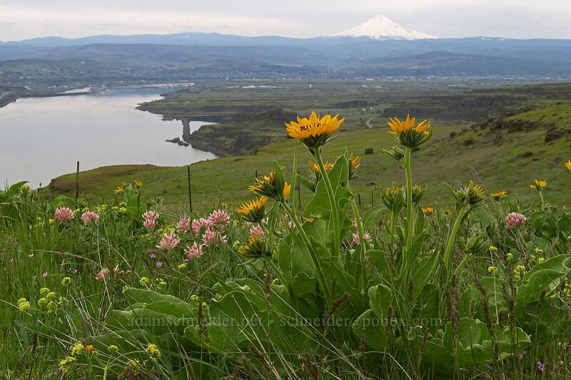 balsamroot, big-head clover, & bare-stem desert parsley (Balsamorhiza careyana, Trifolium macrocephalum, Lomatium nudicaule) [Vista Loop, Columbia Hills State Park, Washington]