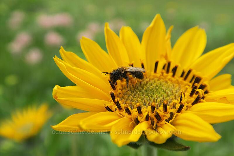 small bumblebee on balsamroot (Balsamorhiza careyana) [Vista Loop, Columbia Hills State Park, Washington]