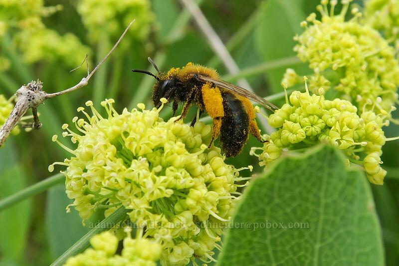 bee on bare-stem desert parsley (Lomatium nudicaule) [Vista Loop, Columbia Hills State Park, Washington]