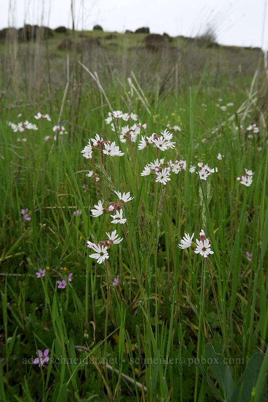 prairie stars (Lithophragma sp.) [Vista Loop, Columbia Hills State Park, Washington]