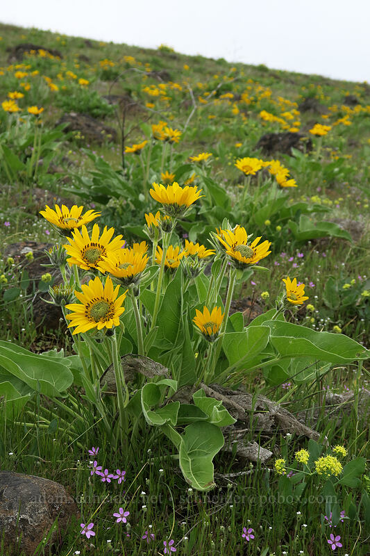 balsamroot (Balsamorhiza careyana) [Vista Loop, Columbia Hills State Park, Washington]