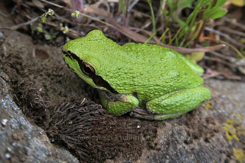 Pacific tree frog (Pseudacris regilla) [Vista Loop, Columbia Hills State Park, Washington]