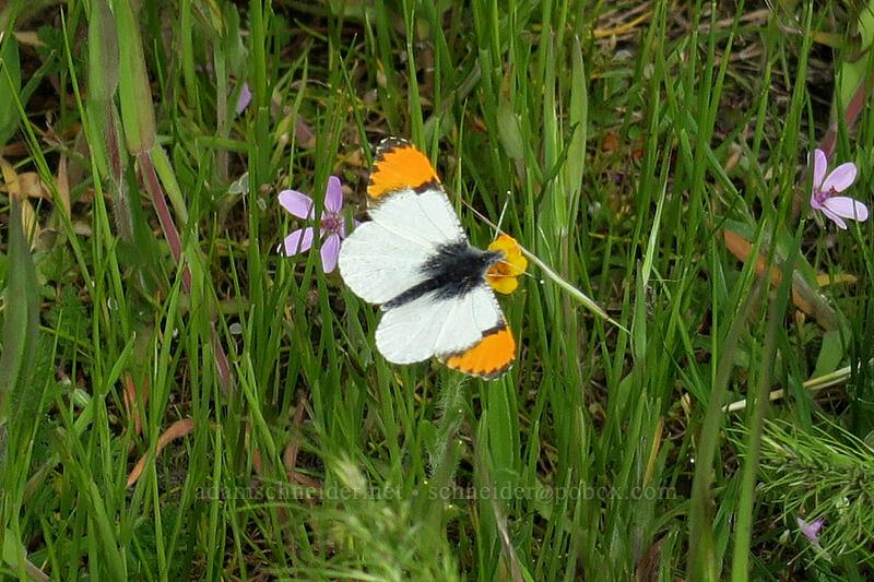 Pacific orange-tip butterfly (Anthocharis sara flora) [Crawford Oaks Trailhead, Columbia Hills State Park, Washington]