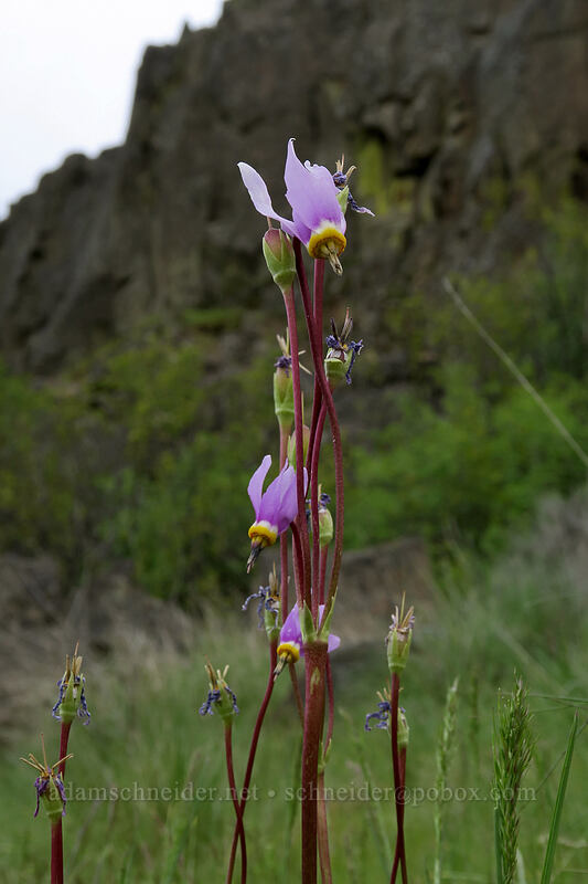 desert shooting-star (Dodecatheon conjugens (Primula conjugens)) [Horsethief Butte Trail, Columbia Hills State Park, Washington]