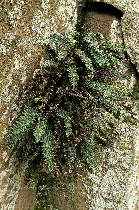 lace lip fern (Cheilanthes gracillima) [Horsethief Butte, Columbia Hills State Park, Washington]