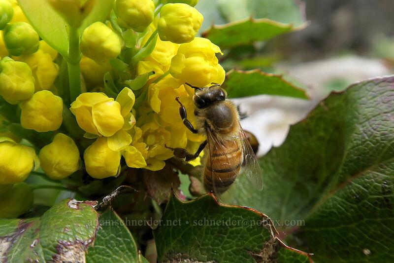 honeybee on Oregon-grape (Apis mellifera, Mahonia aquifolium (Berberis aquifolium)) [Horsethief Butte, Columbia Hills State Park, Washington]