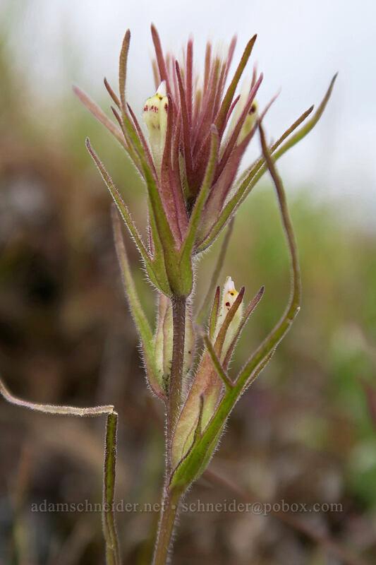 narrow-leaf paintbrush (Castilleja attenuata) [Horsethief Butte, Columbia Hills State Park, Washington]