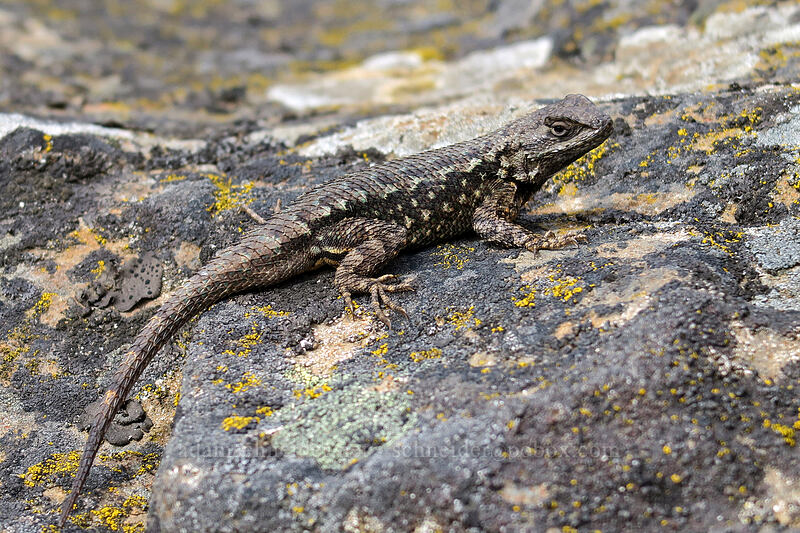 western fence lizard (Sceloporus occidentalis) [Horsethief Butte, Columbia Hills State Park, Washington]
