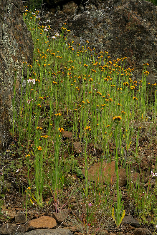 fiddleneck (Amsinckia sp.) [Rattlesnake Rim, Columbia Hills State Park, Washington]