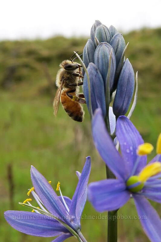 honeybee on camas (Apis mellifera, Camassia quamash) [Catherine Creek, Klickitat County, Washington]