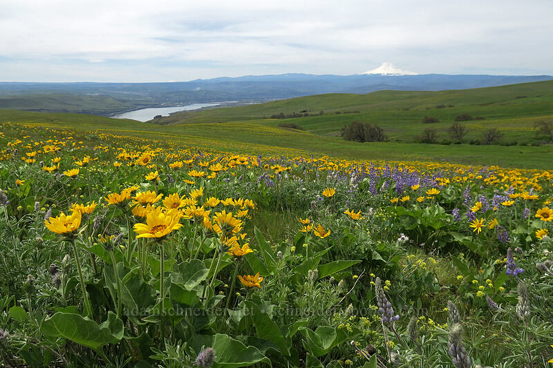 balsamroot & lupines (Balsamorhiza careyana, Lupinus latifolius) [Dalles Mountain Road, Klickitat County, Washington]