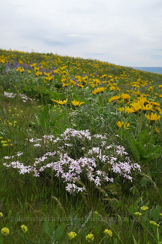 showy phlox & balsamroot (Phlox speciosa, Balsamorhiza careyana) [Dalles Mountain Road, Klickitat County, Washington]