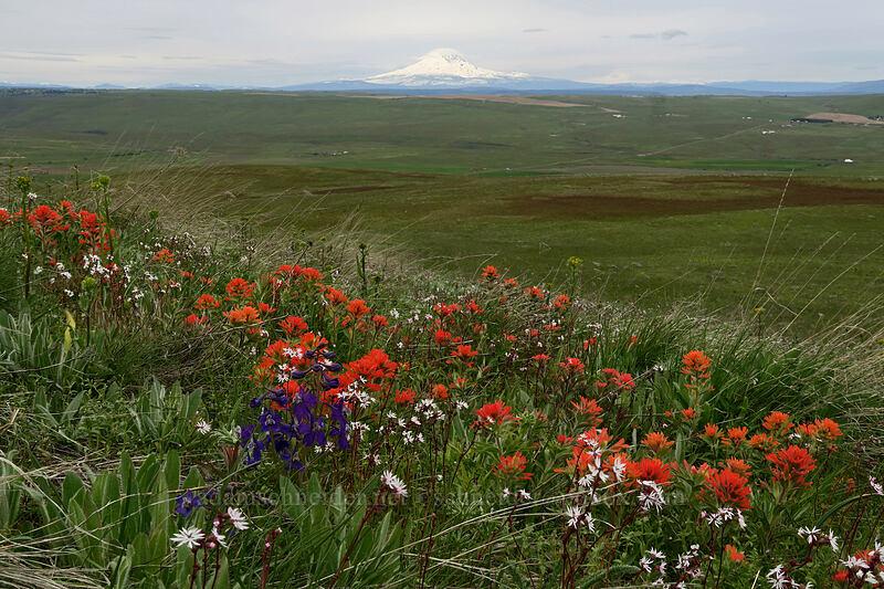 Mt. Adams, larkspur, paintbrush, & prairie stars (Delphinium nuttallianum, Castilleja hispida, Lithophragma sp.) [O'Brien Road, Klickitat County, Washington]