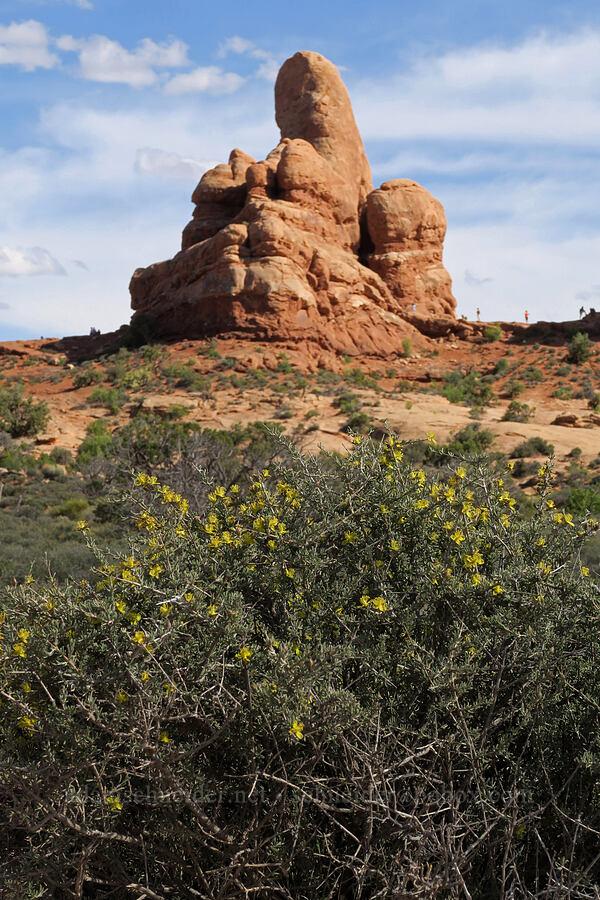 blackbrush & Turret Arch (Coleogyne ramosissima) [Windows Trail, Arches National Park, Utah]