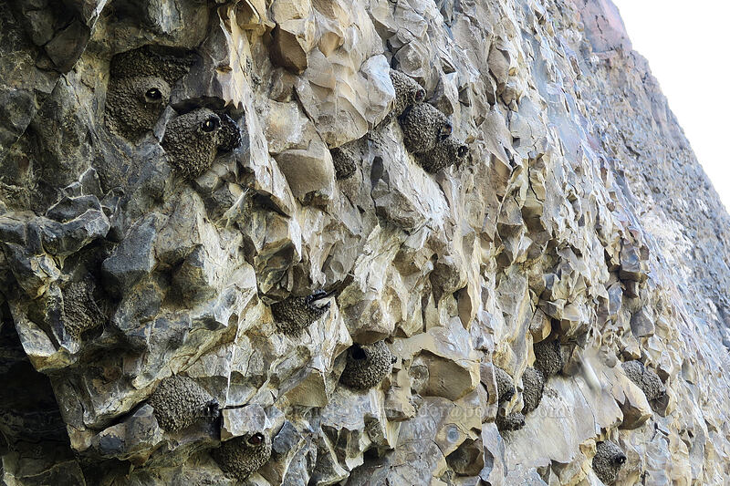cliff swallow nests (Petrochelidon pyrrhonota) [Pinnacles Trail, Cottonwood Canyon State Park, Oregon]
