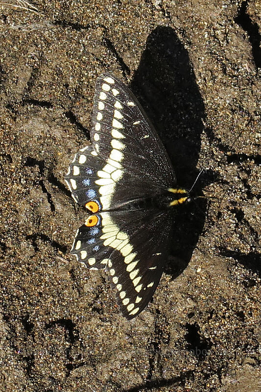 Indra swallowtail butterfly (in my footprint) (Papilio indra) [Pinnacles Trail, Cottonwood Canyon State Park, Oregon]