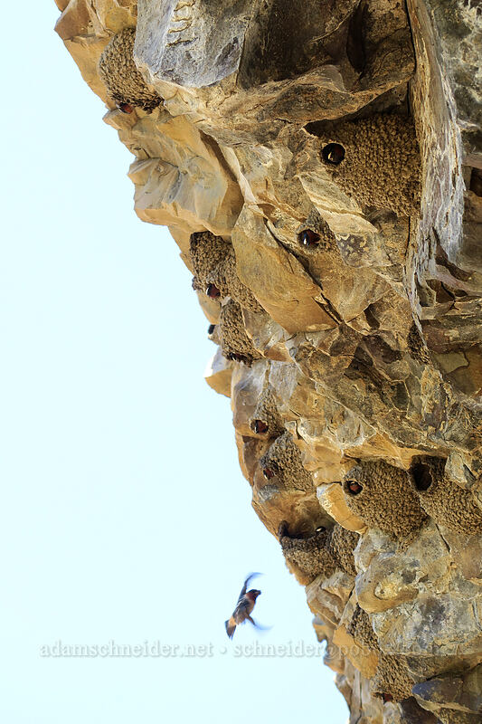 cliff swallows (Petrochelidon pyrrhonota) [Pinnacles Trail, Cottonwood Canyon State Park, Oregon]