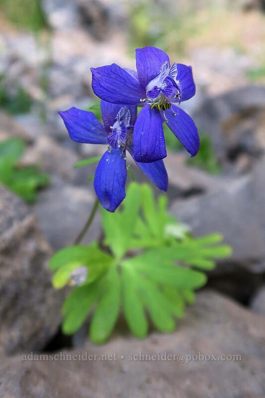 larkspur (Delphinium nuttallianum) [above Lost Corral Trail, Cottonwood Canyon State Park, Oregon]