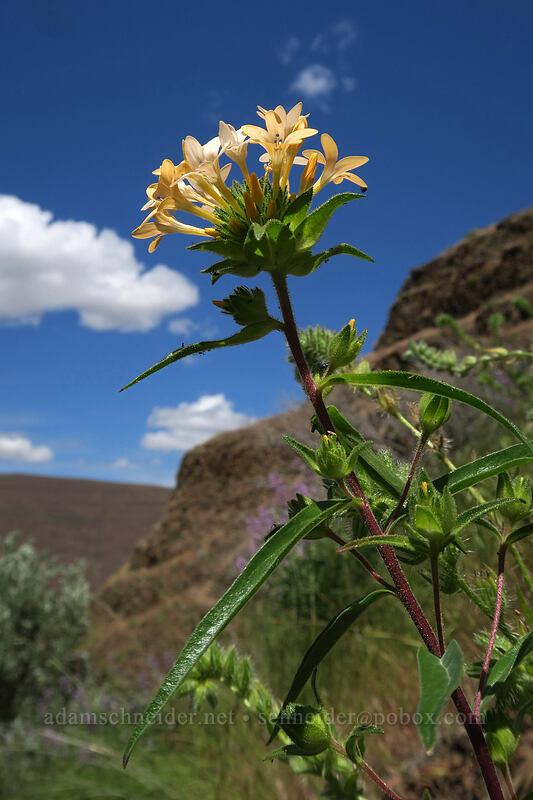 grand collomia (Collomia grandiflora) [above Lost Corral Trail, Cottonwood Canyon State Park, Oregon]