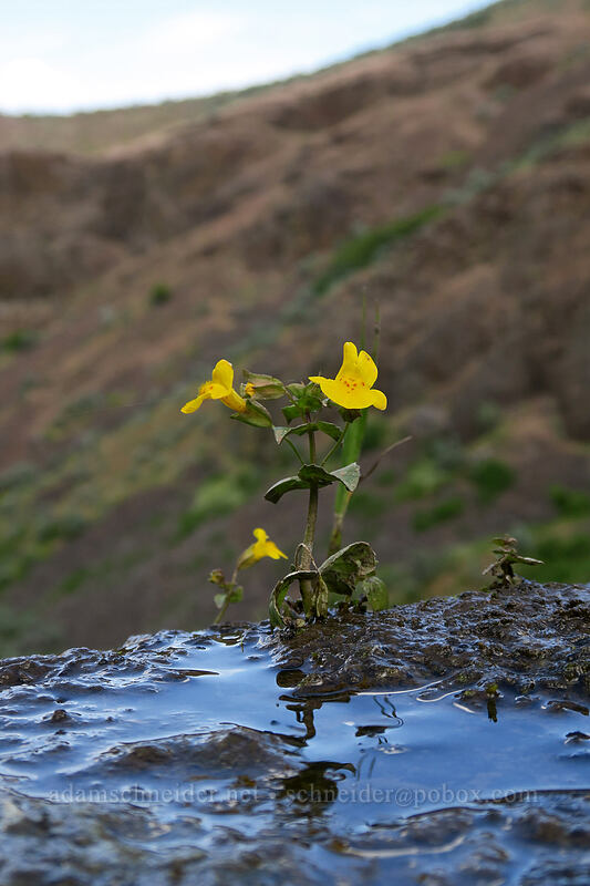 monkeyflower (Erythranthe guttata (Mimulus guttatus)) [above Lost Corral Trail, Cottonwood Canyon State Park, Oregon]