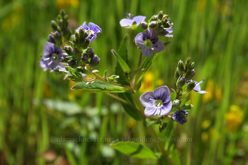 water speedwell (Veronica anagallis-aquatica) [above Lost Corral Trail, Cottonwood Canyon State Park, Oregon]