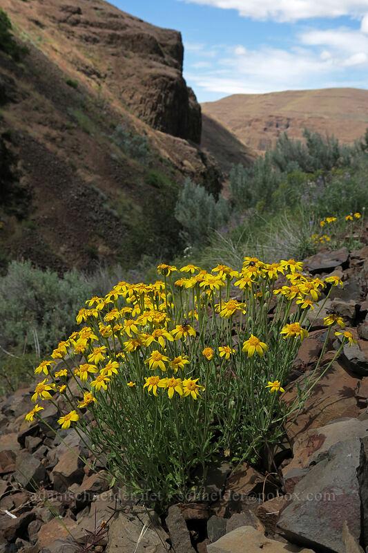 Oregon sunshine (Eriophyllum lanatum) [above Lost Corral Trail, Cottonwood Canyon State Park, Oregon]