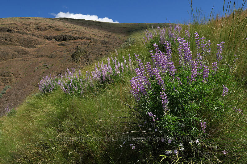 lupines (Lupinus sp.) [above Lost Corral Trail, Cottonwood Canyon State Park, Oregon]