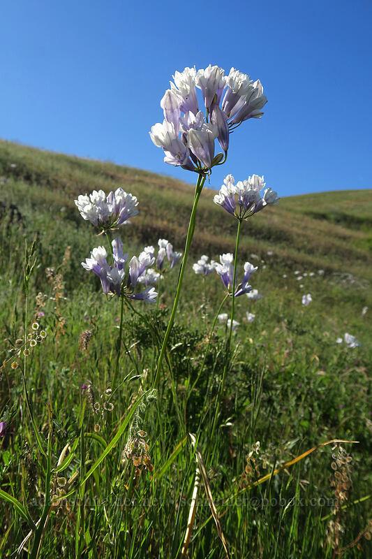 bi-colored cluster lilies (Triteleia grandiflora var. howellii (Brodiaea bicolor)) [Seven-Mile Hill, Wasco County, Oregon]
