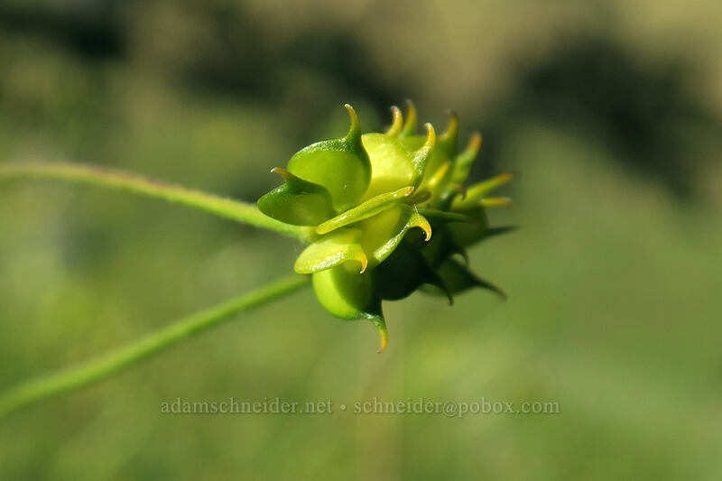 western buttercup seeds (Ranunculus occidentalis) [Seven-Mile Hill, Wasco County, Oregon]