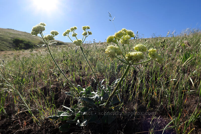 heart-leaf buckwheat (Eriogonum compositum var. compositum) [Seven-Mile Hill, Wasco County, Oregon]
