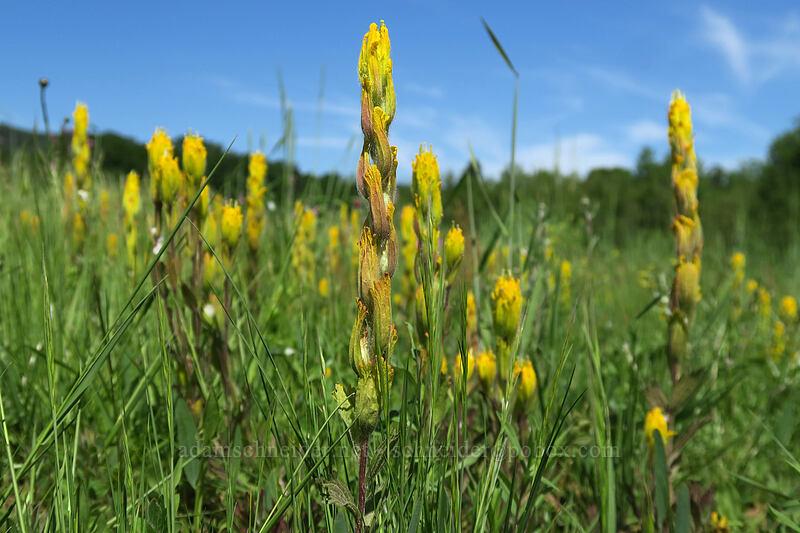 golden paintbrush (Castilleja levisecta) [Finley Refuge Road, Finley National Wildlife Refuge, Oregon]