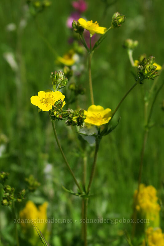 graceful cinquefoil (Potentilla gracilis) [Finley Refuge Road, Finley National Wildlife Refuge, Oregon]