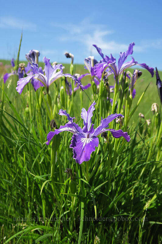 Oregon iris (Iris tenax) [Finley Refuge Road, Finley National Wildlife Refuge, Oregon]