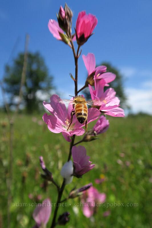 bee approaching rose checker-mallow (Sidalcea virgata (Sidalcea malviflora ssp. virgata)) [Finley Refuge Road, Finley National Wildlife Refuge, Oregon]