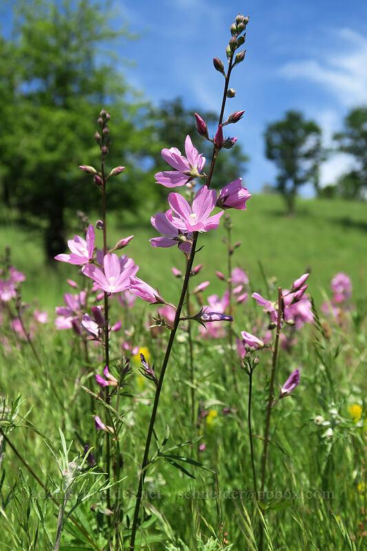 rose checker-mallow (Sidalcea virgata (Sidalcea malviflora ssp. virgata)) [Finley Refuge Road, Finley National Wildlife Refuge, Oregon]