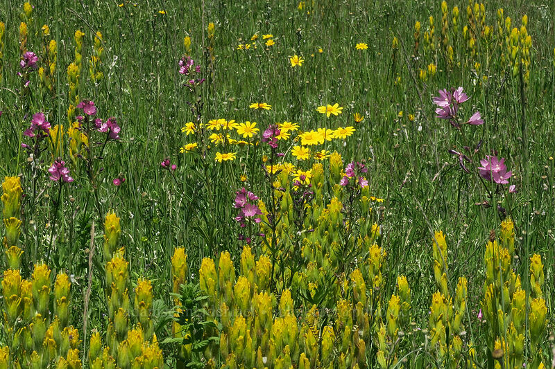 golden paintbrush, checker-mallow, & Oregon sunshine (Castilleja levisecta, Sidalcea sp., Eriophyllum lanatum) [Finley Refuge Road, Finley National Wildlife Refuge, Oregon]