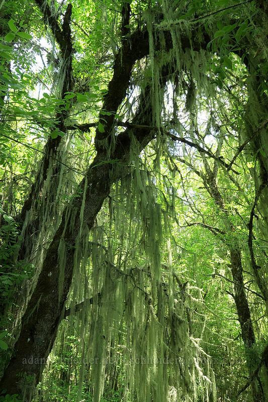 beard lichen (Usnea sp.) [Homer Campbell Boardwalk, Finley National Wildlife Refuge, Oregon]