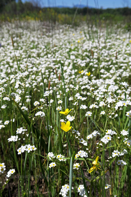 buttercups & popcorn flower (Ranunculus sp., Plagiobothrys sp.) [Prairie Overlook, Finley National Wildlife Refuge, Oregon]