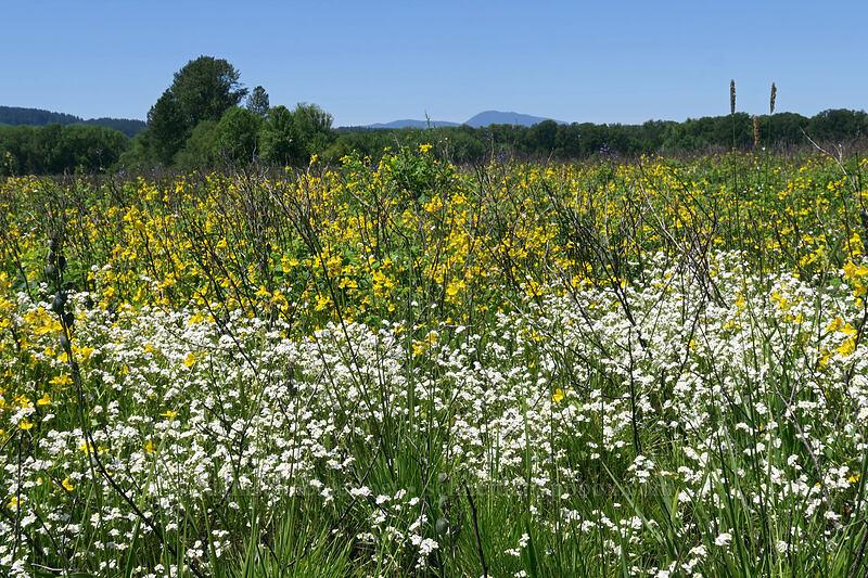 popcorn flower & monkeyflower (Plagiobothrys sp., Erythranthe guttata (Mimulus guttatus)) [Prairie Overlook, Finley National Wildlife Refuge, Oregon]