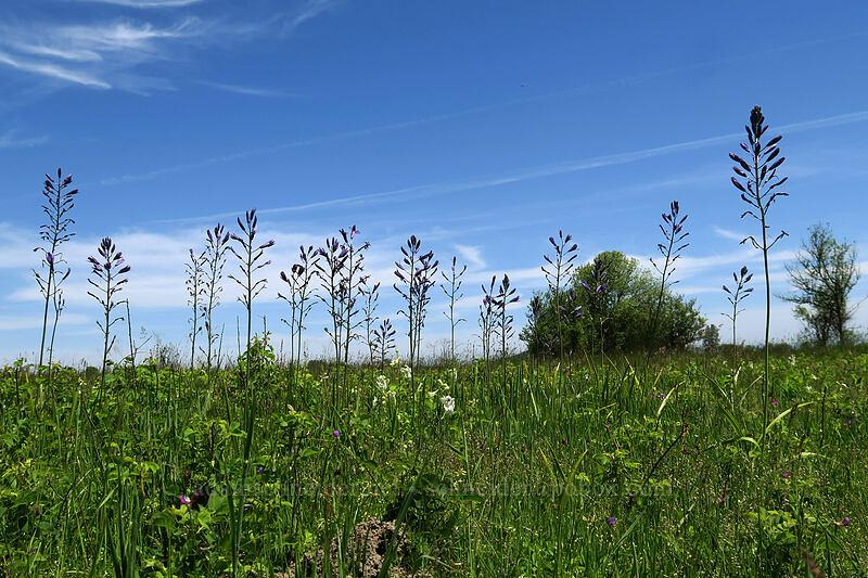 great camas (Camassia leichtlinii) [Prairie Overlook, Finley National Wildlife Refuge, Oregon]