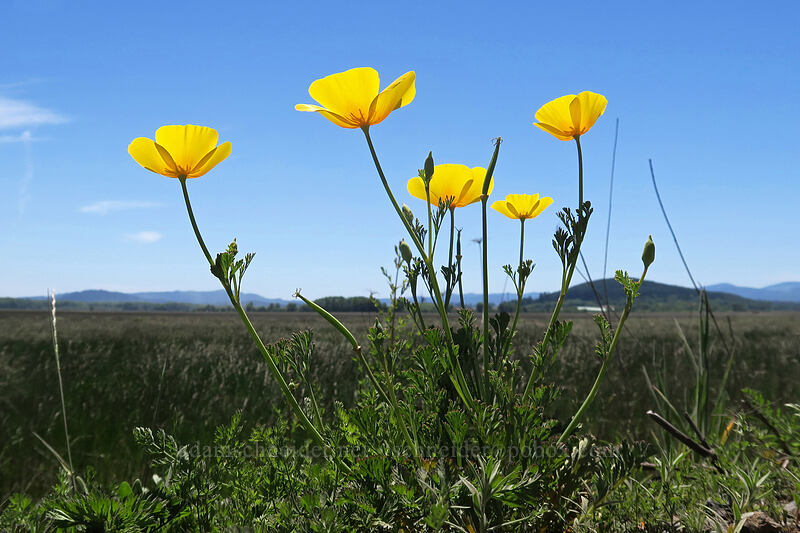 foothill poppies (Eschscholzia caespitosa) [Bruce Road, Finley National Wildlife Refuge, Oregon]